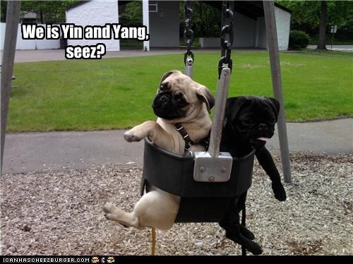 black cute Hall of Fame pugs siblings swing white yin and yang