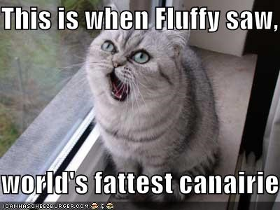 amazement,canary,caption,cat,fat,Fluffy,seeing