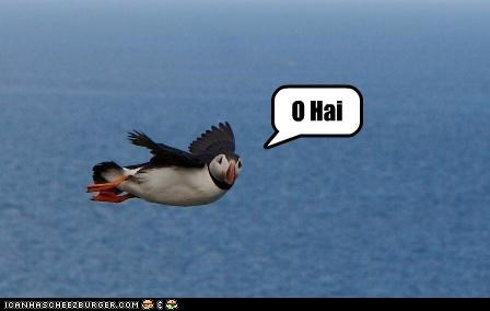 bird,caption,flying,o hai,puffin