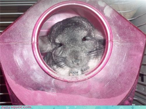 chinchilla Every time I talk about chinchillas on here someone gets mad face - 3895901184