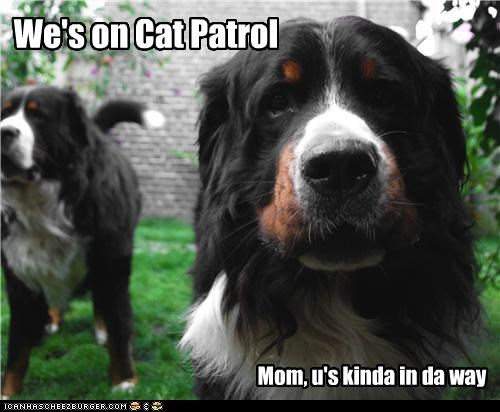 burmese mountain dogs cat patrol in the way interrupted mom searching