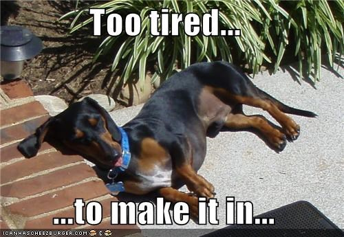 cant-make-it dachshund exhausted inside sleeping steps tired - 3903438592