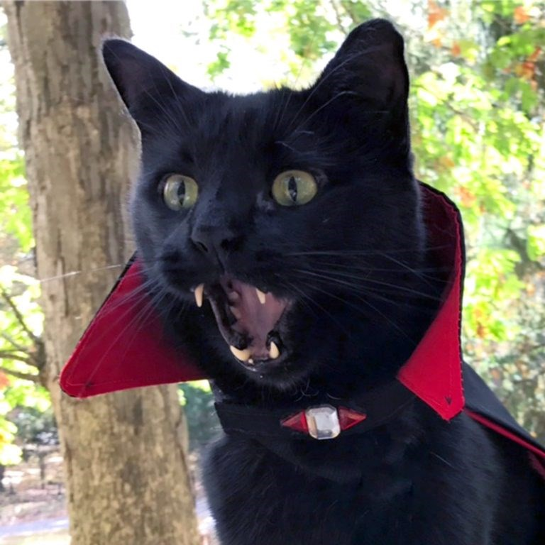 The dracula cat looks like vampire