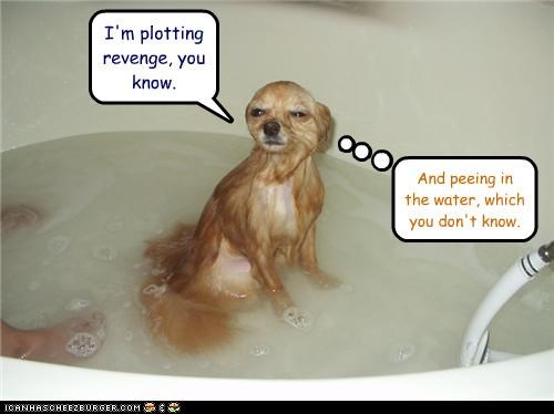 angry,bath,chihuahua,do not know,know,peeing,plotting,revenge,wet