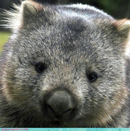 cute head Wombat - 3908137216