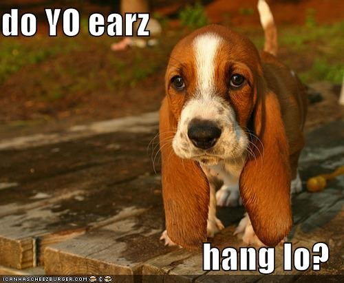 basset hound cute ears floppy hanging low question