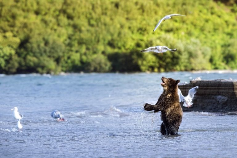 bear cub playing with seagulls