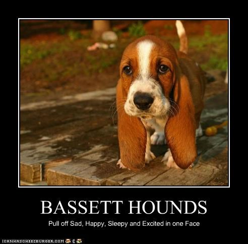 BASSETT HOUNDS Pull off Sad, Happy, Sleepy and Excited in one Face