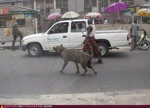 dangerous dog park hyena wtf - 3917368064