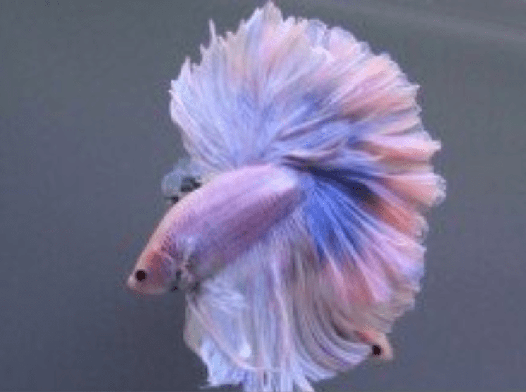 amazing pastel colored fish