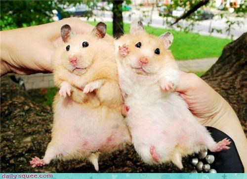 fat,hamster,twins