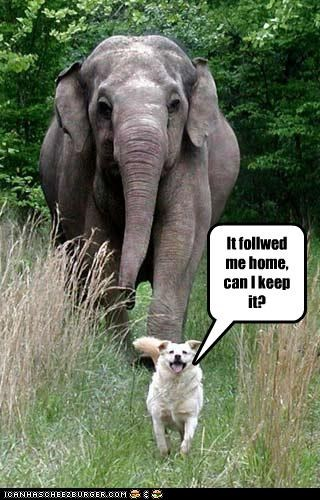 can I keep it,elephant,following,friends,golden retriever,Hall of Fame,home