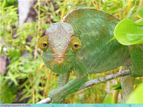 chameleon,face,green