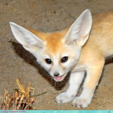 ears,fennec,fennec fox