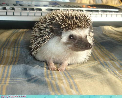 face hedgehog sly - 3923286784