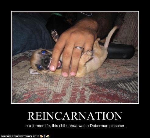 REINCARNATION In a former life, this chihuahua was a Doberman pinscher.