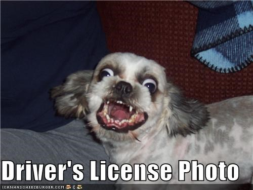 derp face drivers license expression Photo silky terrier