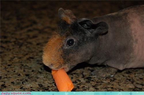 guinea pig Om Nom Monday skinny pig - 3941791232