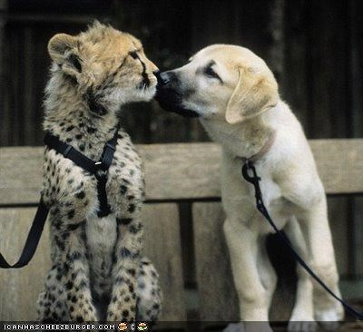 anatolian shepherd cheetah cub kittehs r owr friends leashes puppy smell sniffing wilderness - 3942097408