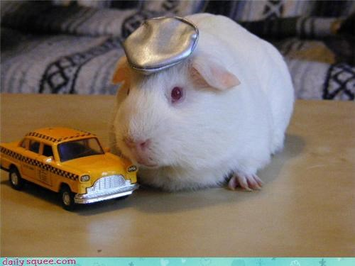 costume guinea pig GuineaPigsWithHats.com - 3942154752
