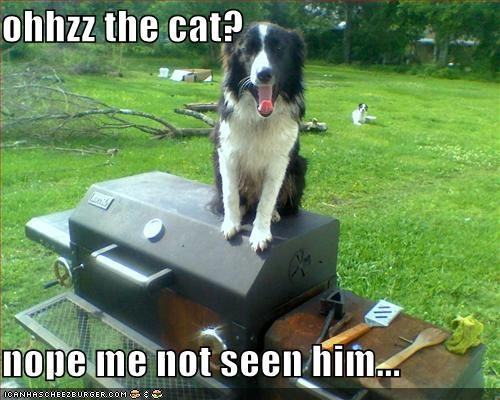 barbecue border collie havent-seen-him lying playing dumb the cat - 3943956736