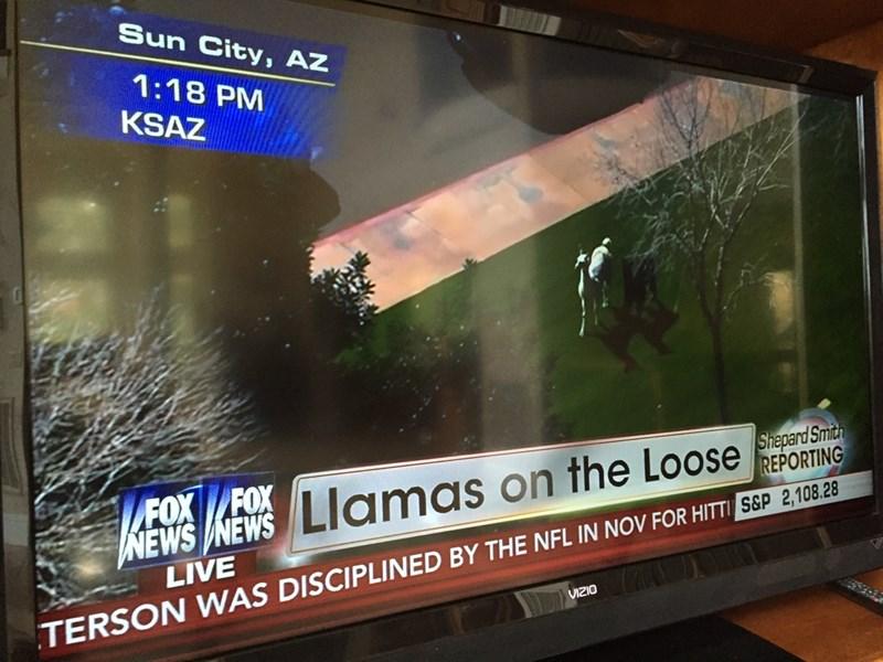 arizona llamas police llamas on the loose the great llama breakout of 2015 llamas on the lam - 394501