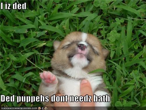 bath corgi cute do not want explanation justification playing dead puppy sleeping - 3947685632