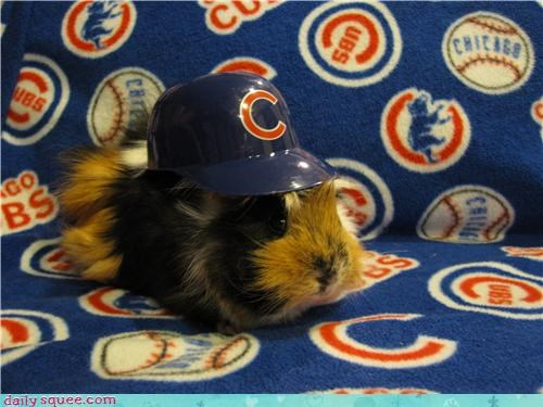 guinea pig GuineaPigsWithHats.com sports - 3948646400