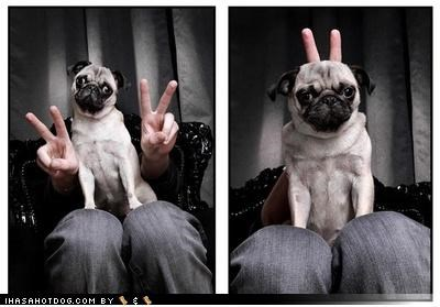 bunny ears,peace sign,photobomb,photograph,posing,pug