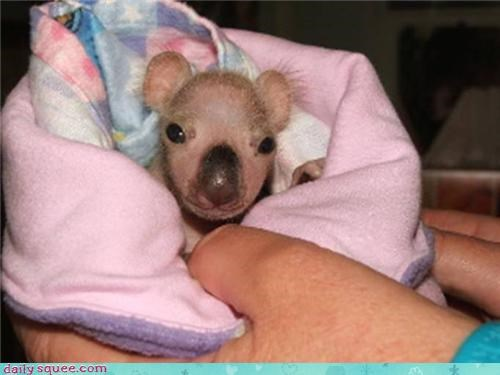 baby koala nose - 3956477952