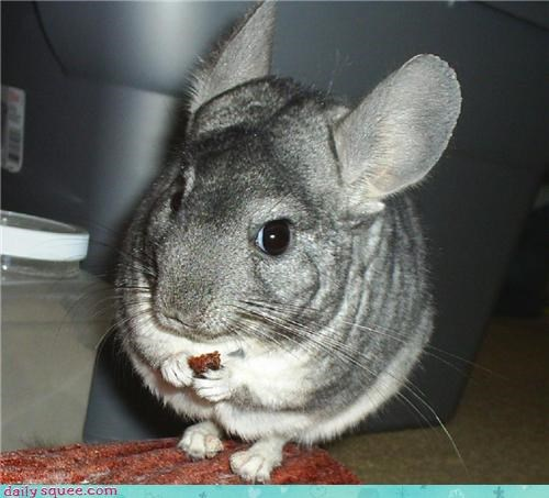 chinchilla happysad squee spree - 3959347456
