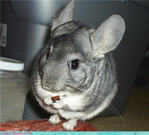 chinchilla happysad squee spree - 3959347456