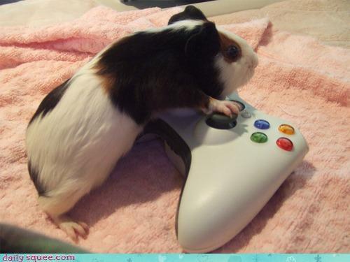 cute guinea pig - 3962050304