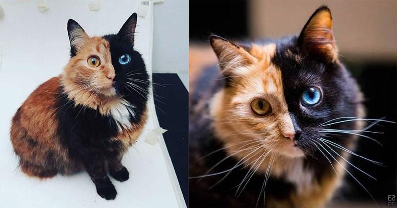 imagenes gato chimera
