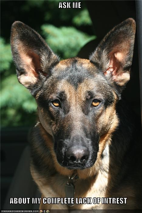 absolutes annoyed apathy ask me german shepherd glaring lack of interest question - 3965857792