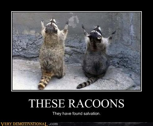 THESE RACOONS They have found salvation.