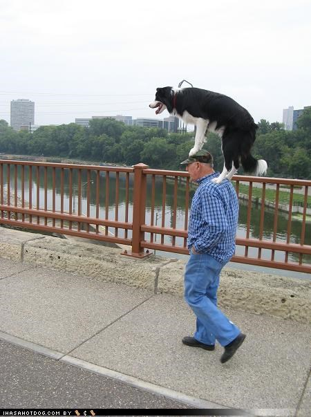 awesome border collie cute hoomin owner perching standing on head - 3966687232