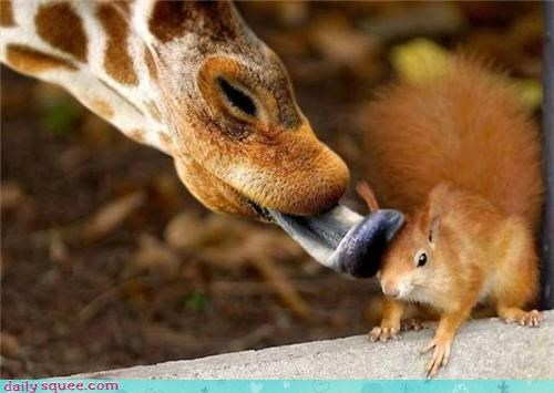 giraffes,squirrel,tongue