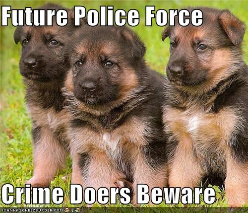 beware criminals cute future german shepherd police force puppies puppy - 3969394432