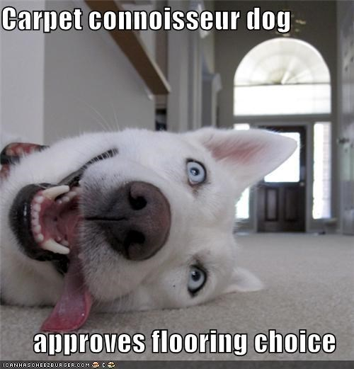 all white,approval,blue eyes,carpet,connoisseur,happy,husky,selection,tongue
