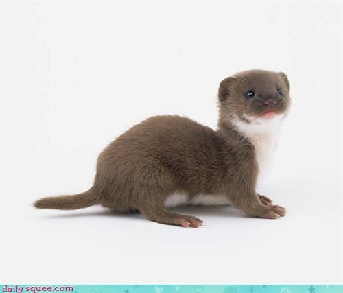 cute face weasel - 3970967808
