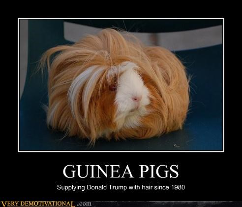 animals,business,donald trump,guinea pigs,hair,hilarious,not vegan,serious,wigs