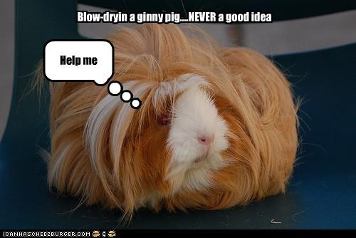 Blow-dryin a ginny pig....NEVER a good idea Help me