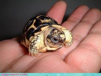 baby shell turtle - 3972167680