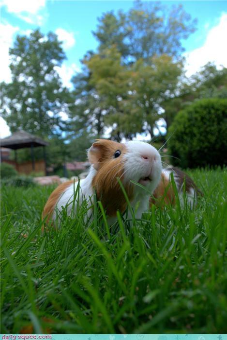 g-pig,guinea pig,trivia