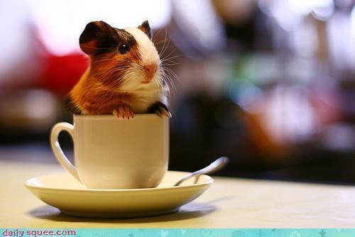 guinea pig GuineaPigsWithHats.com sets - 3975404544