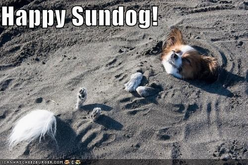buried cute happy happy sundog papillon relaxing sand