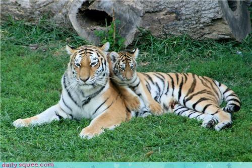 baby cub tiger - 3975823104