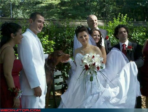 Antonio Banderas,bride,cute wedding picture,dogs,doggy groom,fashion is my passion,funny wedding photos,groom,Match made in heaven,Sheer Awesomeness,skirt handler,snausages,were-in-love,wedding party,White Tuxedo