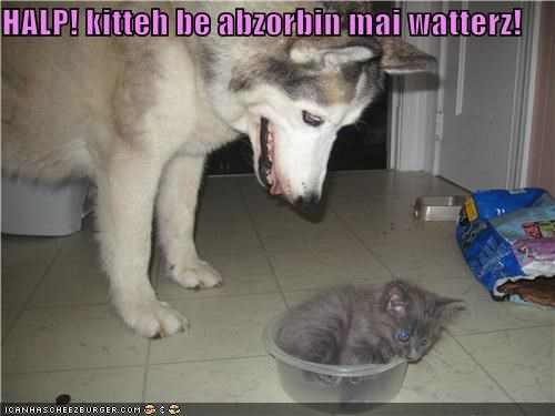 absorbant,absorbing,help,husky,kitten,mixed breed,water dish